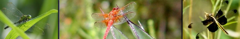 Dragonfly Lore Rotating Header Image
